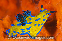 Tambja Nudibranch Tambja verconis Photo - Gary Bell