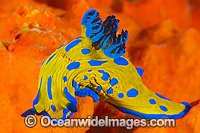 Tambja Nudibranch on orange sponge Photo - Gary Bell