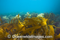 Kelp and Alga Victoria Photo - Gary Bell
