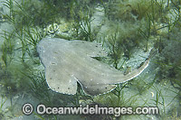 Australian Angel Shark Squatina australis Photo - Gary Bell
