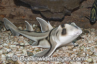 Port Jackson Shark Photo - Gary Bell