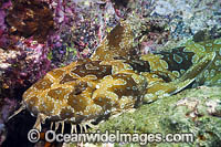 Spotted Wobbegong Shark Coffs Harbour Photo - Gary Bell