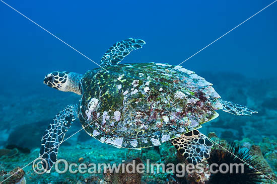 Hawksbill Sea Turtle (Eretmochelys imbricata). Found in tropical and warm temperate seas worldwide. Rare. Classified Critically Endangered species on the IUCN Red List. Photo taken at Solitary Islands, Coffs Harbour, NSW, Australia. Photo - Gary Bell