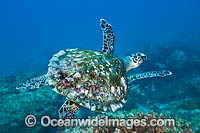 Hawksbill Sea Turtle swimming Photo - Gary Bell