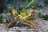 Crab decorated with algae Photo - Gary Bell