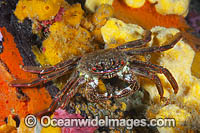 Shore Crab on Sea Sponge Photo - Gary Bell