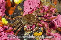 Crab on Sea Sponge Photo - Gary Bell