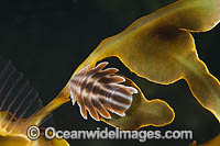 Isopod on Seadragon Photo - Gary Bell