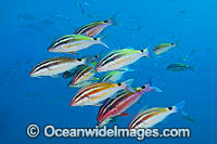 Black-spot Goatfish Solitary Islands image