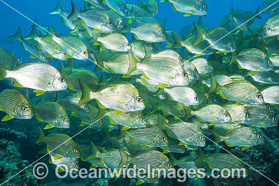 Schooling Tarwhine (Rhabdosargus sarba). Also known as Silver Bream. Found along the east coast of Australia. Photo taken at the Solitary Islands, Coffs Harbour, New South Wales, Australia. Photo - Gary Bell