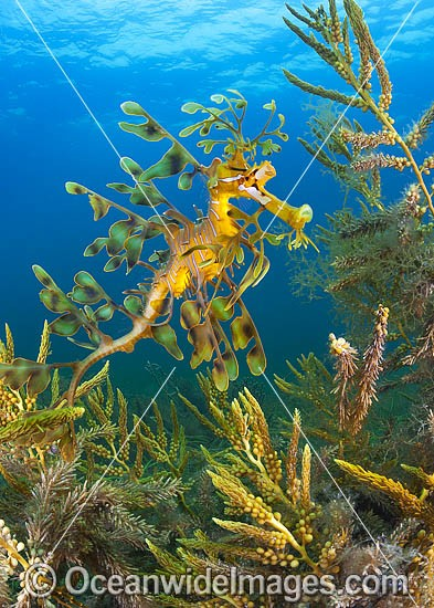 Leafy Seadragon (Phycodurus eques). Found from Lancelin, WA, to Wilsons Promontory, Vic, but mostly sighted in SA waters and southern WA waters. Photo taken at York Peninsula, South Australia. Endemic to Australia.
