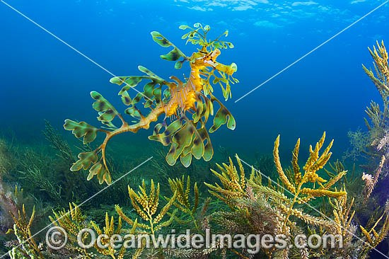 Leafy Seadragon (Phycodurus eques). Found from Lancelin, WA, to Wilsons Promontory, Vic, but mostly sighted in SA waters and southern WA waters. Photo taken at York Peninsula, South Australia. Endemic to Australia. Photo - Gary Bell