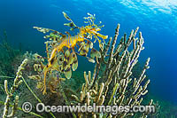 Leafy Seadragon in weed photo
