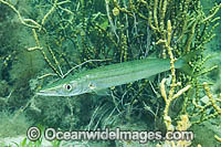 Snook Sphyraena novaehollandiae photo