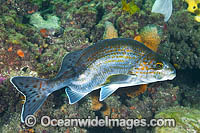 Dusky Morwong deformed photo