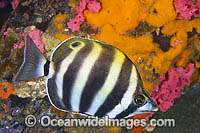 Six-banded Coral Fish Tilodon sexfasciatus photo