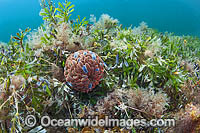Swimming Anemone on Seagrass Photo - Gary Bell