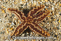 Sea star Uniophora granifera Photo - Gary Bell