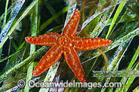 Sea star South Australia Photo - Gary Bell