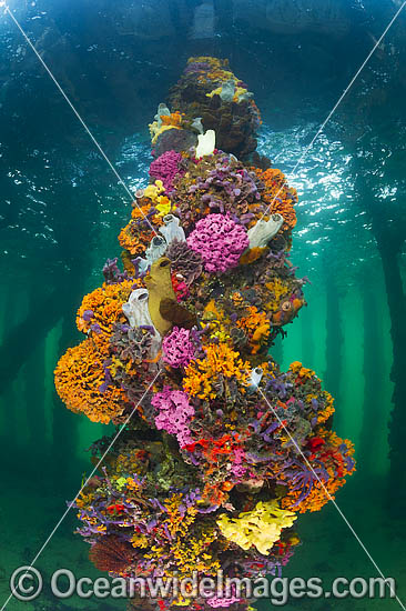 Jetty Pylon, heavily encrusted in Sea Sponges, Bryozoans and Sea Tunicates. Photo was taken at Edithburgh Jetty, York Peninsula, South Australia, Australia. Photo - Gary Bell