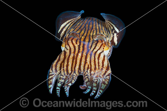 Striped Pyjama Squid (Sepioloidea lineolata). Also known as Lined Dumpling Squid. Found in sheltered sand, seagrass and rubble on coastal southern Qld, NSW, SA and south-eastern WA. Photo taken at Edithburgh, York Peninsula, South Australia, Australia.