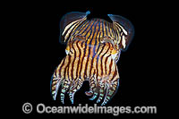 Striped Pyjama Squid Photo - Gary Bell