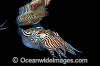 Striped Pyjama Squid Edithburgh Photo - Gary Bell