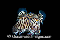 Striped Pyjama Squid South Australia Photo - Gary Bell