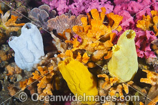 Mix of colourful Sea Sponges, Bryozoans and Sea Tunicates, encrusting a pylon at Edithburgh Jetty. Photo taken at York Peninsula, South Australia, Australia. Photo - Gary Bell