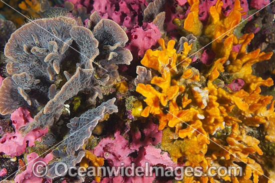Mix of colourful Sea Sponges and Bryozoans, encrusting a pylon at Edithburgh Jetty. Photo taken at York Peninsula, South Australia, Australia.