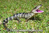 Pink-tongued Skink Australia Photo - Gary Bell