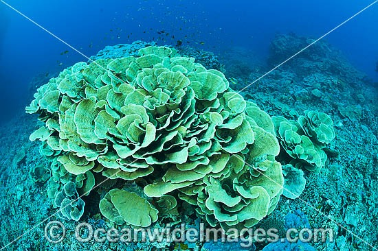 Hard coral known as Cabbage Coral, (possibly: Turbinaria reniformis). Photo was taken at Milne Bay, Papua New Guinea. Within the Coral Triangle. Photo - Gary Bell