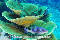 Cabbage Coral Reef Photo - Gary Bell