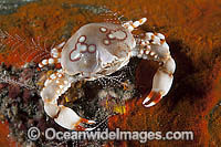Pebble Crab Photo - Gary Bell