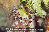 Shrimp emerges from shell photo
