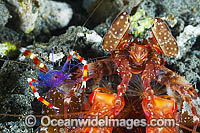 Boxer Shrimp and Mantis Shrimp in burrow Photo - Gary Bell