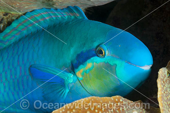 Saddled Parrotfish (Scarus dimidiatus), male. Also known as Blue-bridle Parrotfish. Found throughout the Indo-Central Pacific, including the Great Barrier Reef, Australia.