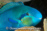 Saddled Parrotfish Scarus dimidiatus Photo - Gary Bell