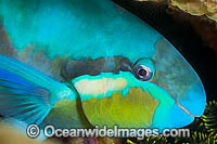 Saddled Parrotfish Photo - Gary Bell