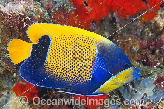 Majestic Angelfish (Pomacanthus navarchus). Also known as Blue-girdled Angelfish. Found throughout the Indo-Pacific, including the Great Barrier Reef, Australia. Photo - Gary Bell