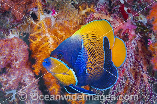 Majestic Angelfish (Pomacanthus navarchus). Also known as Blue-girdled Angelfish. Found throughout the Indo-Pacific, including the Great Barrier Reef, Australia.