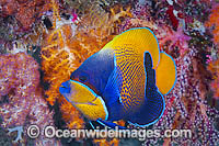 Angelfish and Soft Coral Photo - Gary Bell