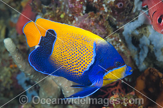 Majestic Angelfish Great Barrier Reef photo