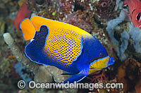Majestic Angelfish Great Barrier Reef Photo - Gary Bell