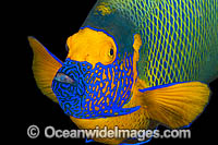Blue-face Angelfish and reef Photo - Gary Bell
