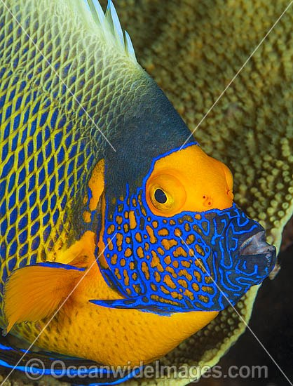 Blue-face Angelfish (Pomacanthus xanthometopon). Also known as Yellow-mask Angelfish. Found throughout Indo-West Pacific, including Great Barrier Reef, Australia.