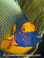 Angelfish and coral photo