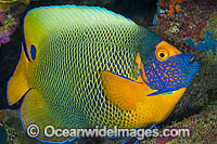 Blue-face Angelfish Photo - Gary Bell