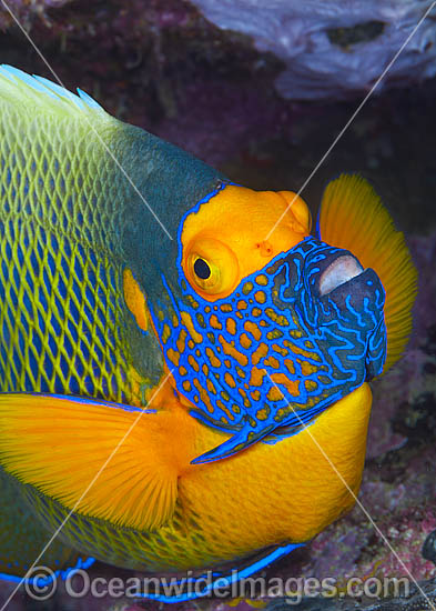Blue-face Angelfish (Pomacanthus xanthometopon). Also known as Yellow-mask Angelfish. Found throughout Indo-West Pacific, including Great Barrier Reef, Australia. Photo - Gary Bell