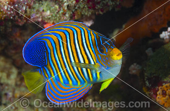 Regal Angelfish (Pygoplites diacanthus). Found throughout the Indo-West Pacific, including the Great Barrier Reef, Australia.